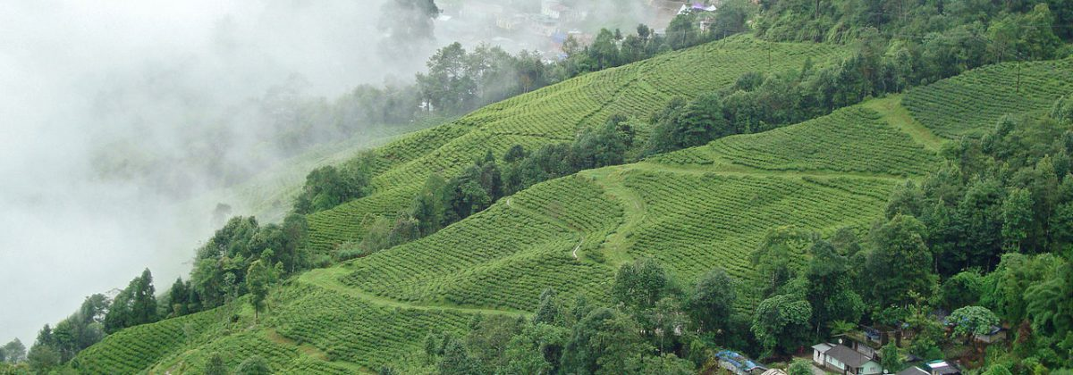 Tea Plantation, Darjeeling, India